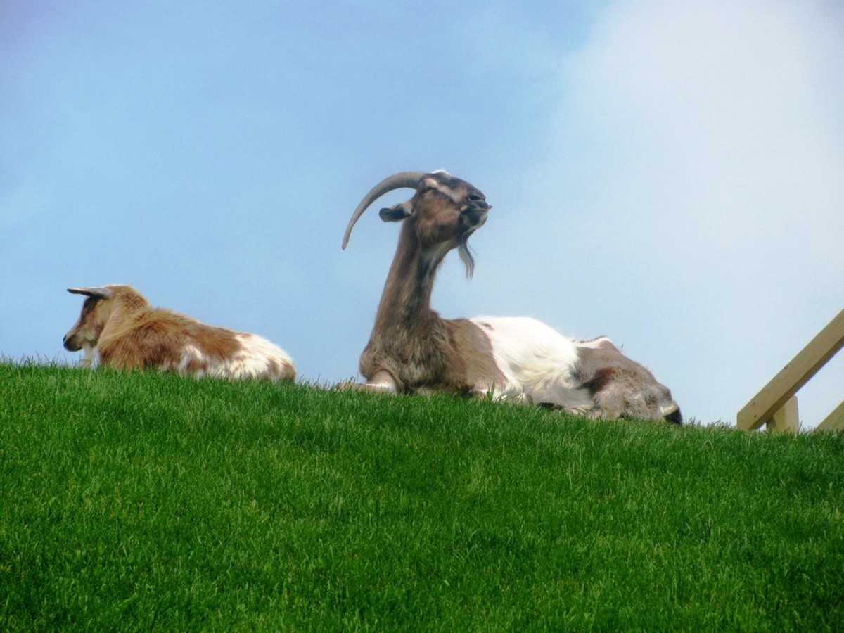 Roof Goats on top of Al Johnson's Swedish Restaurant in Sister Bay, Wisconsin - Door County