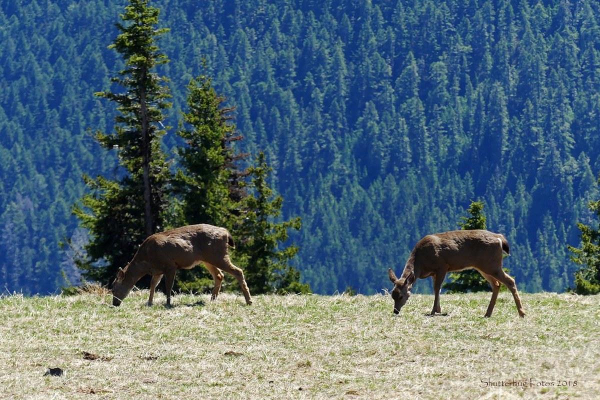 Deer at Hurricane Ridge at Olympic National Park in Seattle, Washington