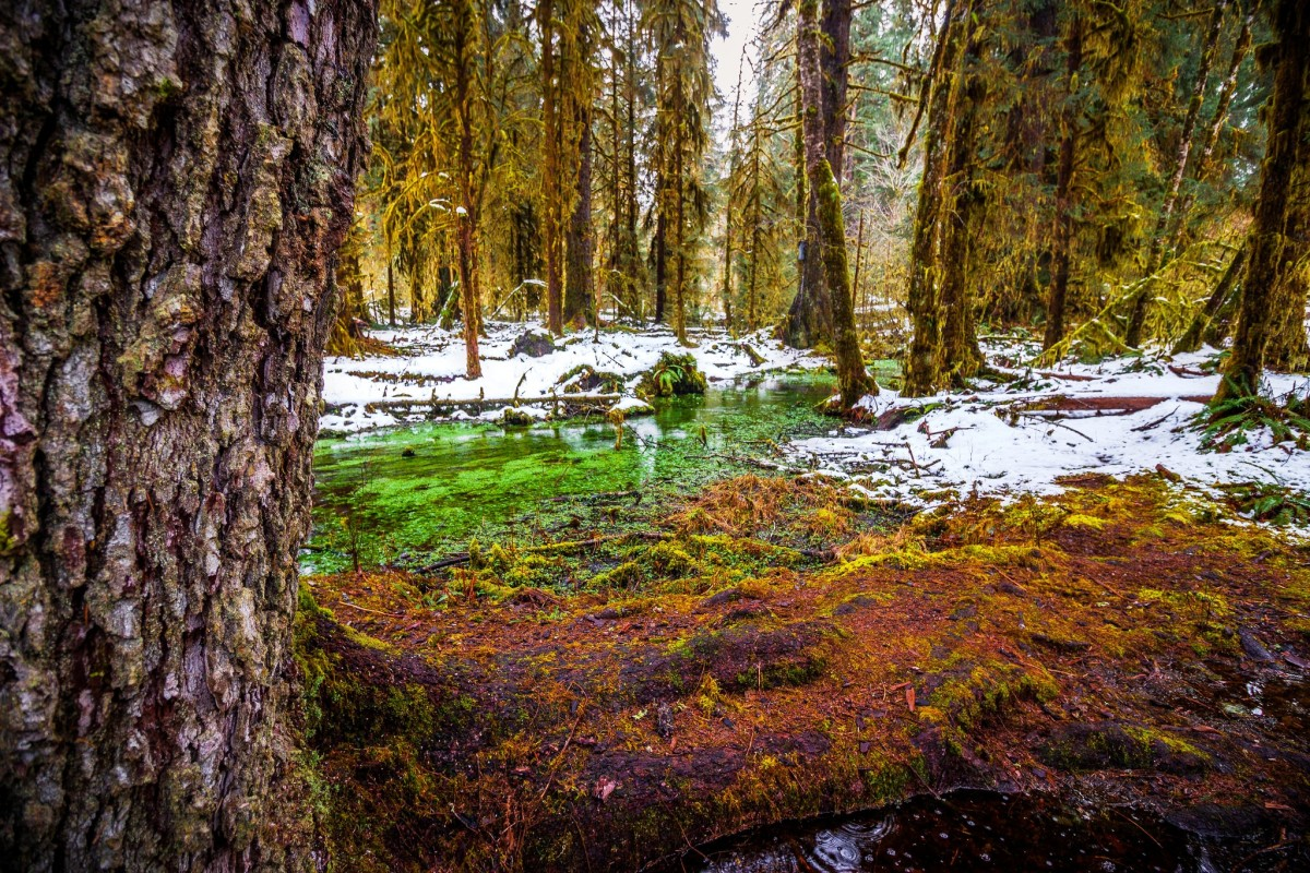 Hoh Rain Forest in Olympic National Park near Seattle, Washington