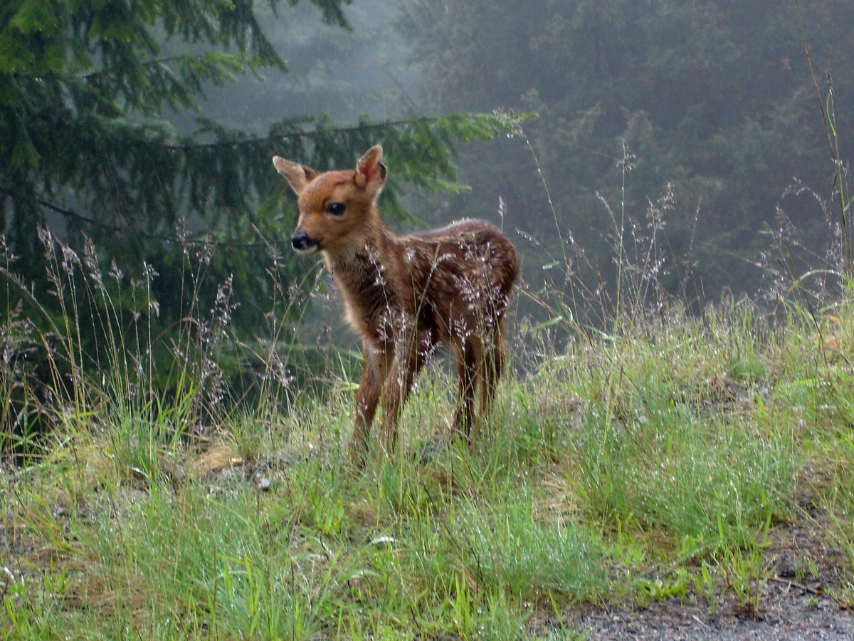 Fawn at Hurricane Ridge at Olympic National Park in Seattle, Washington