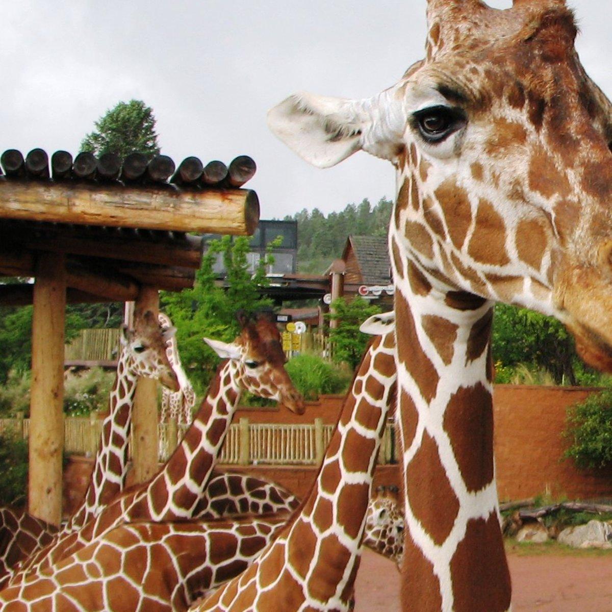 Giraffes at Cheyenne Mountain Zoo in Colorado Springs, Colorado