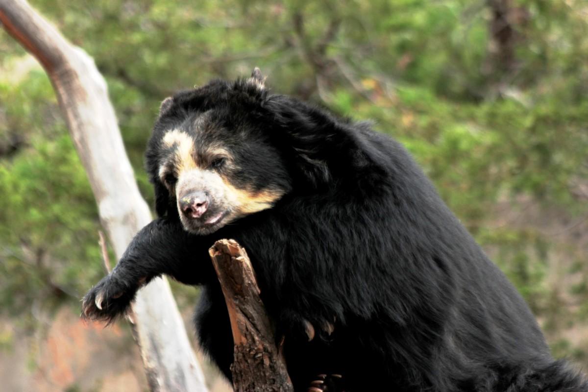 Bear at Cheyenne Mountain Zoo in Colorado Springs, Colorado