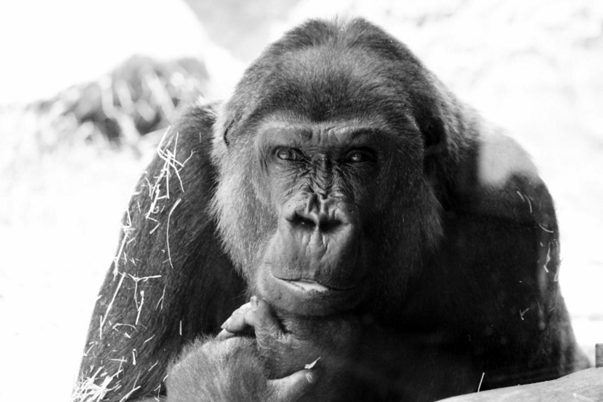 Gorilla at the Cheyenne Mountain Zoo in Colorado Springs, Colorado