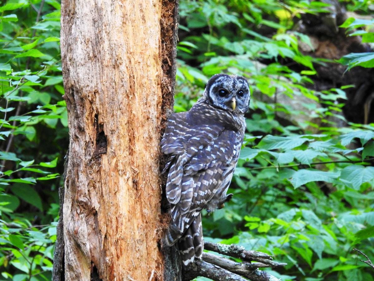 Owl along the Dark Hollows Falls Trail at Shenandoah National Park