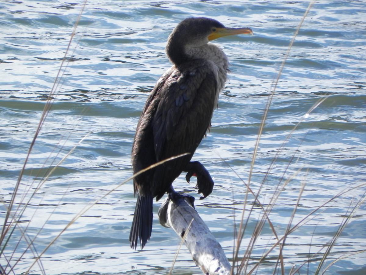 FL Cormorant at First Landing State Park in Virginia Beach, Virginia.