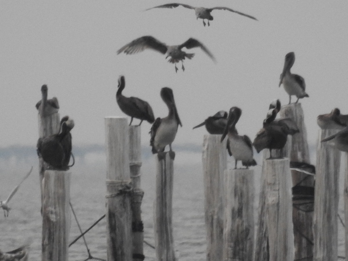 Pelicans at First Landing State Park in Virginia Beach, Virginia