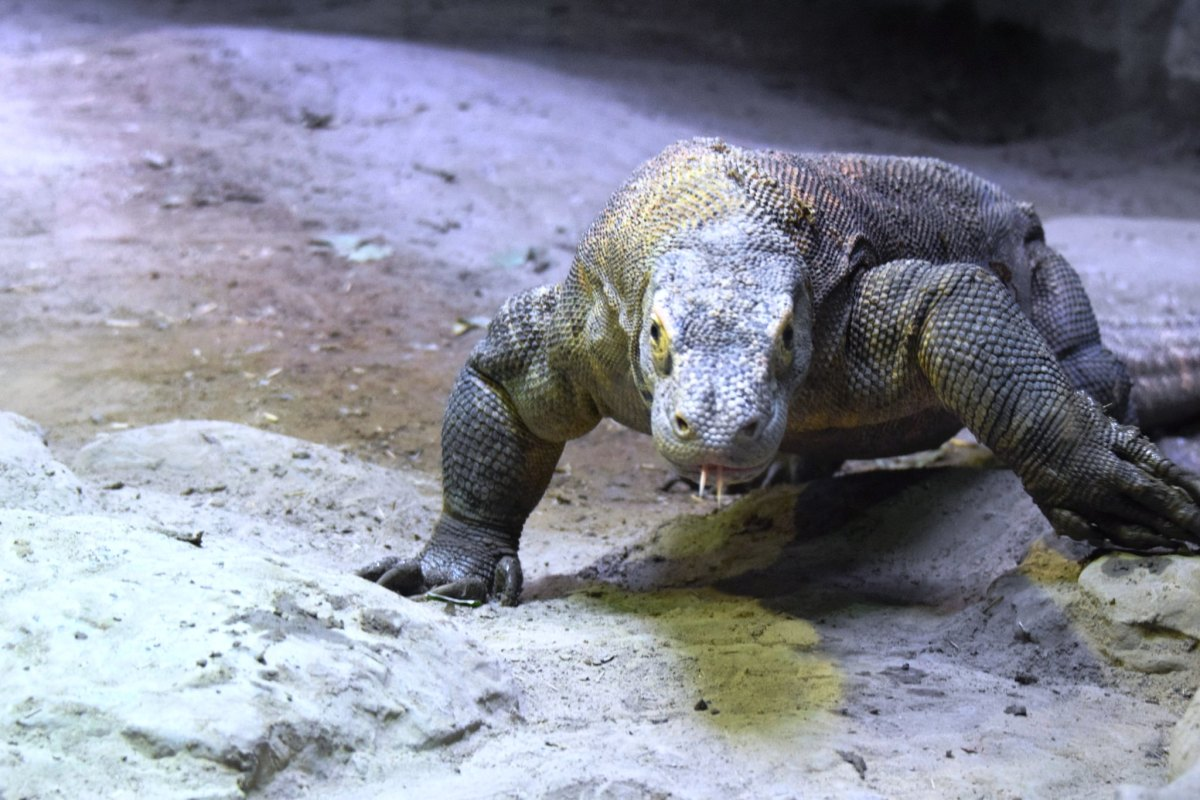 Komodo Dragon at the Virginia Aquarium & Marine Science Center in Virginia Beach, Virginia