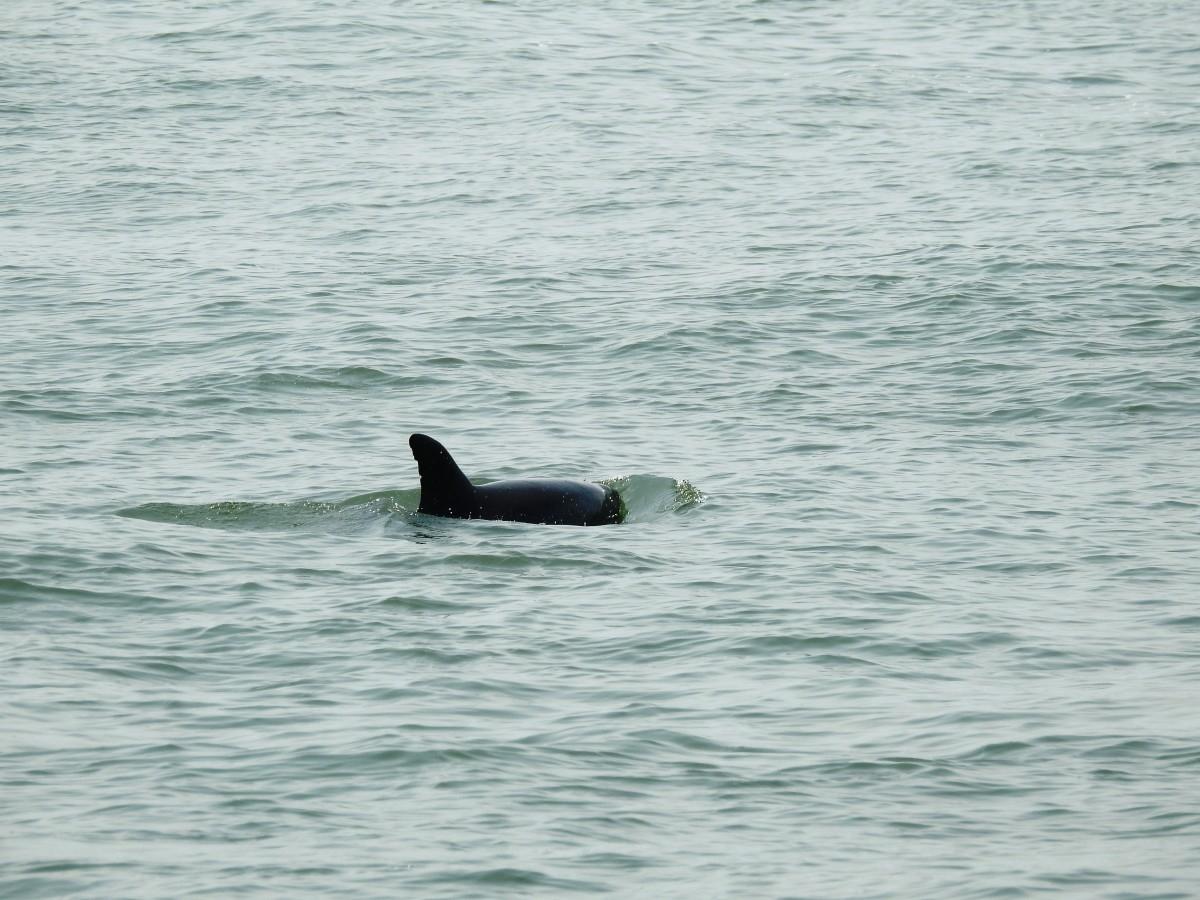 Dolphin off of Virginia Beach, Virginia