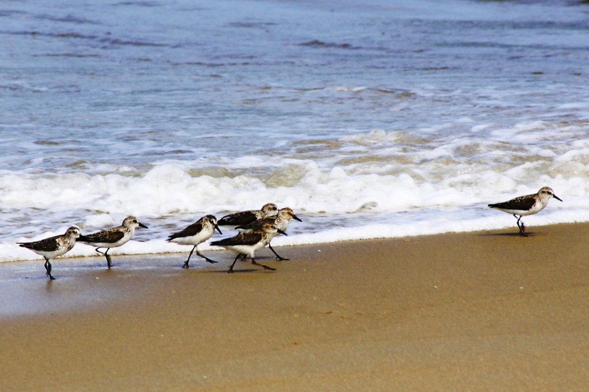 Birds at Sandbridge Beach