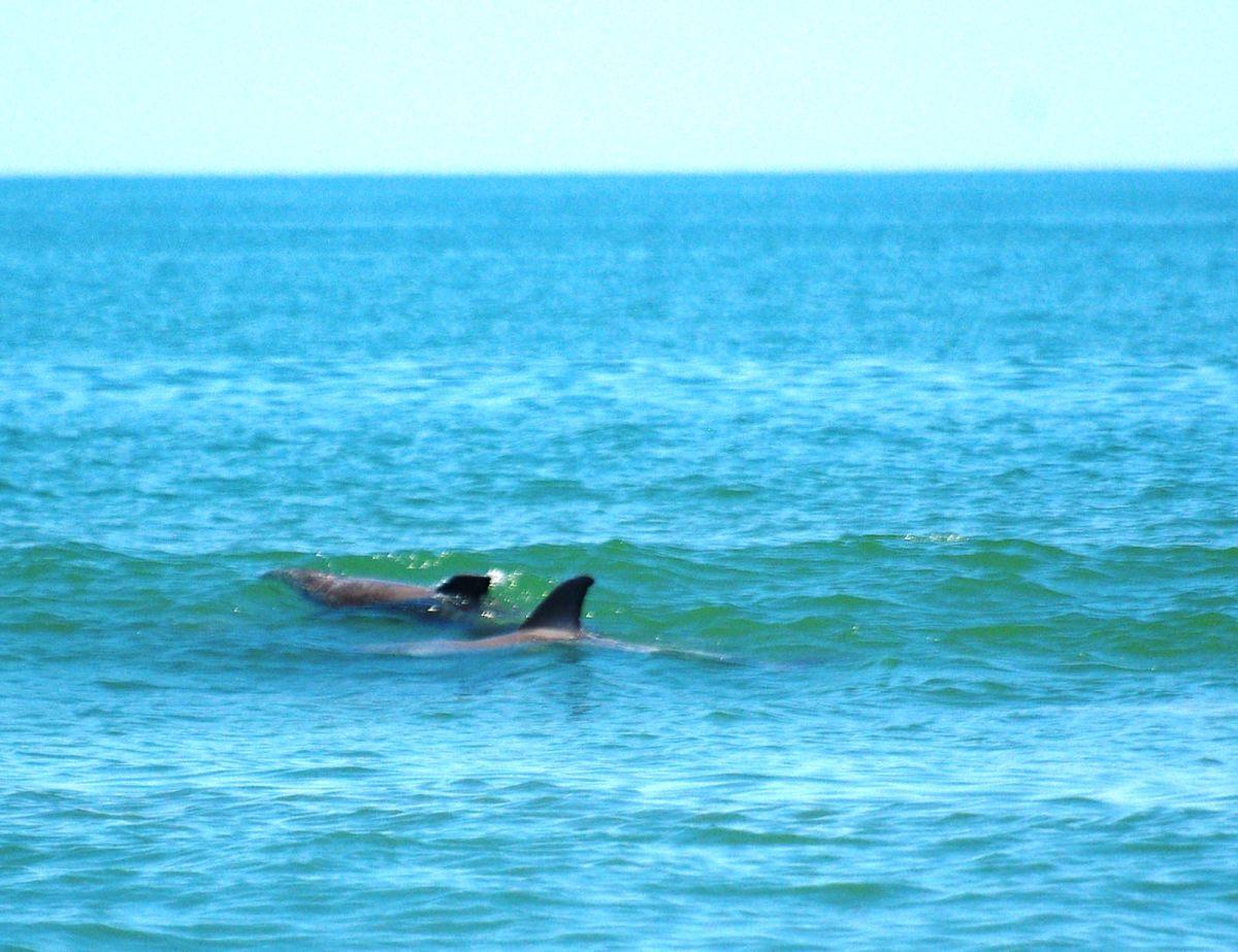 Dolphins at False Cape State Park in Virginia Beach, Virginia