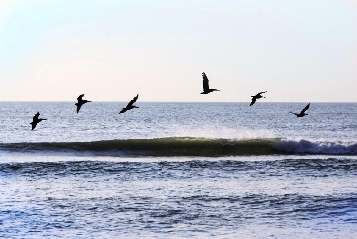 Pelicans at Sandbridge Beach