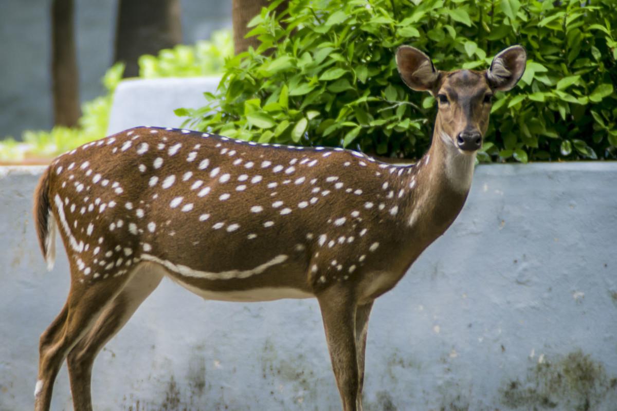 Free-wandering deer near Children's Park, Guindy