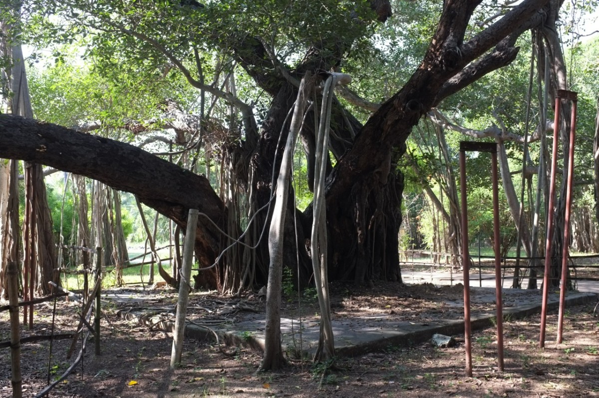 450-year-old Adyar Banyan tree