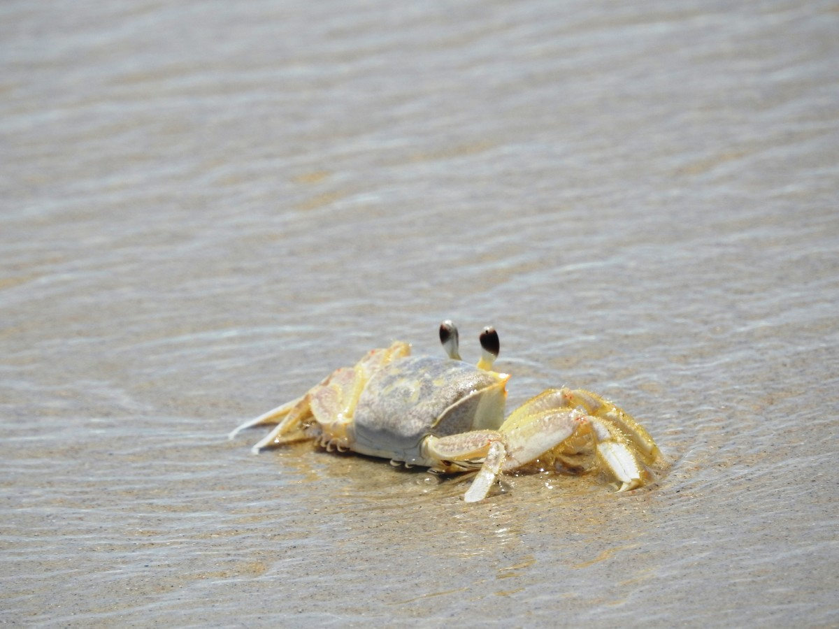 Crab at Cape Hatteras National Seashore on the Outer Banks of North Carolina