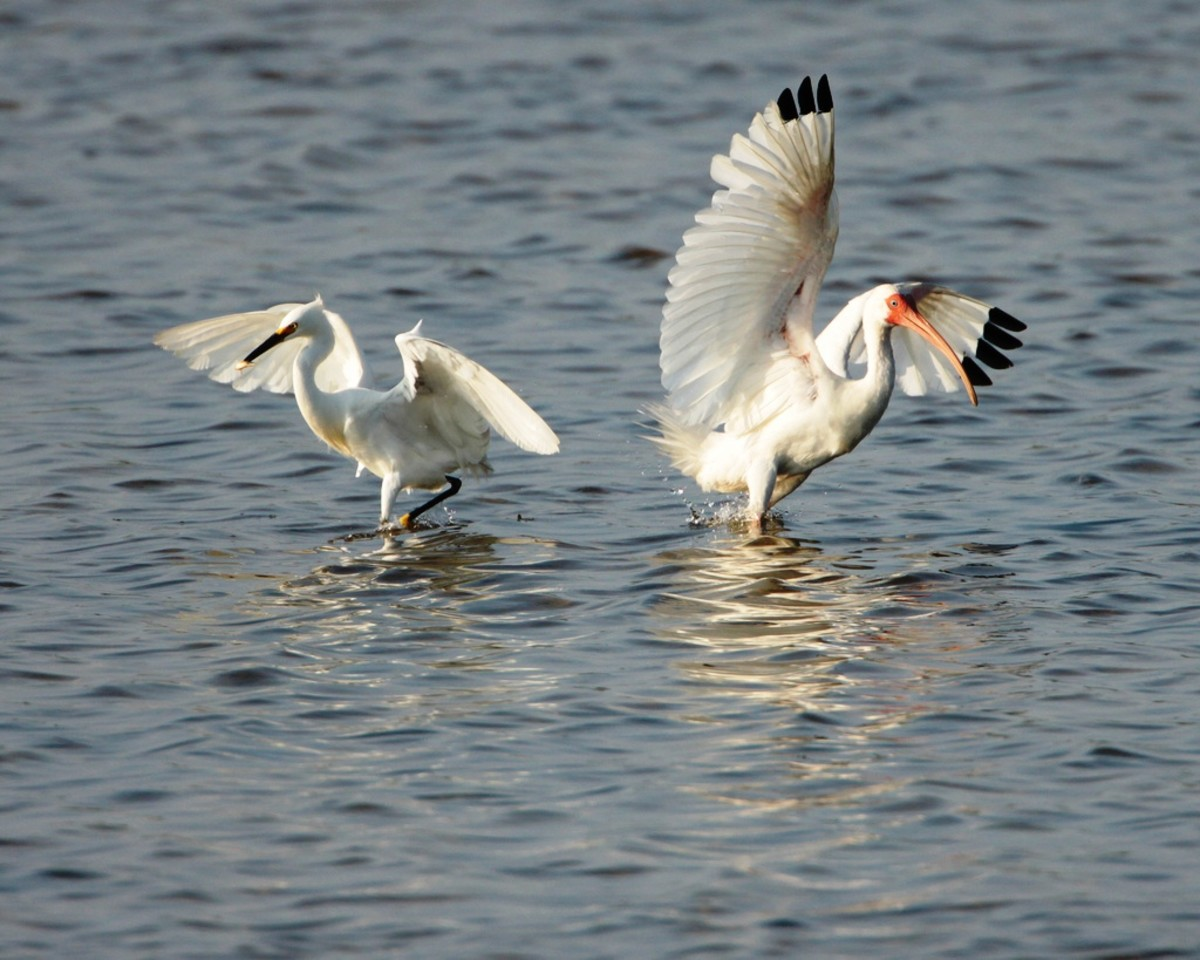 Snowy Egret & White Ibis at Pea Island National Wildlife Refuge on the Outer Banks in North Carolina