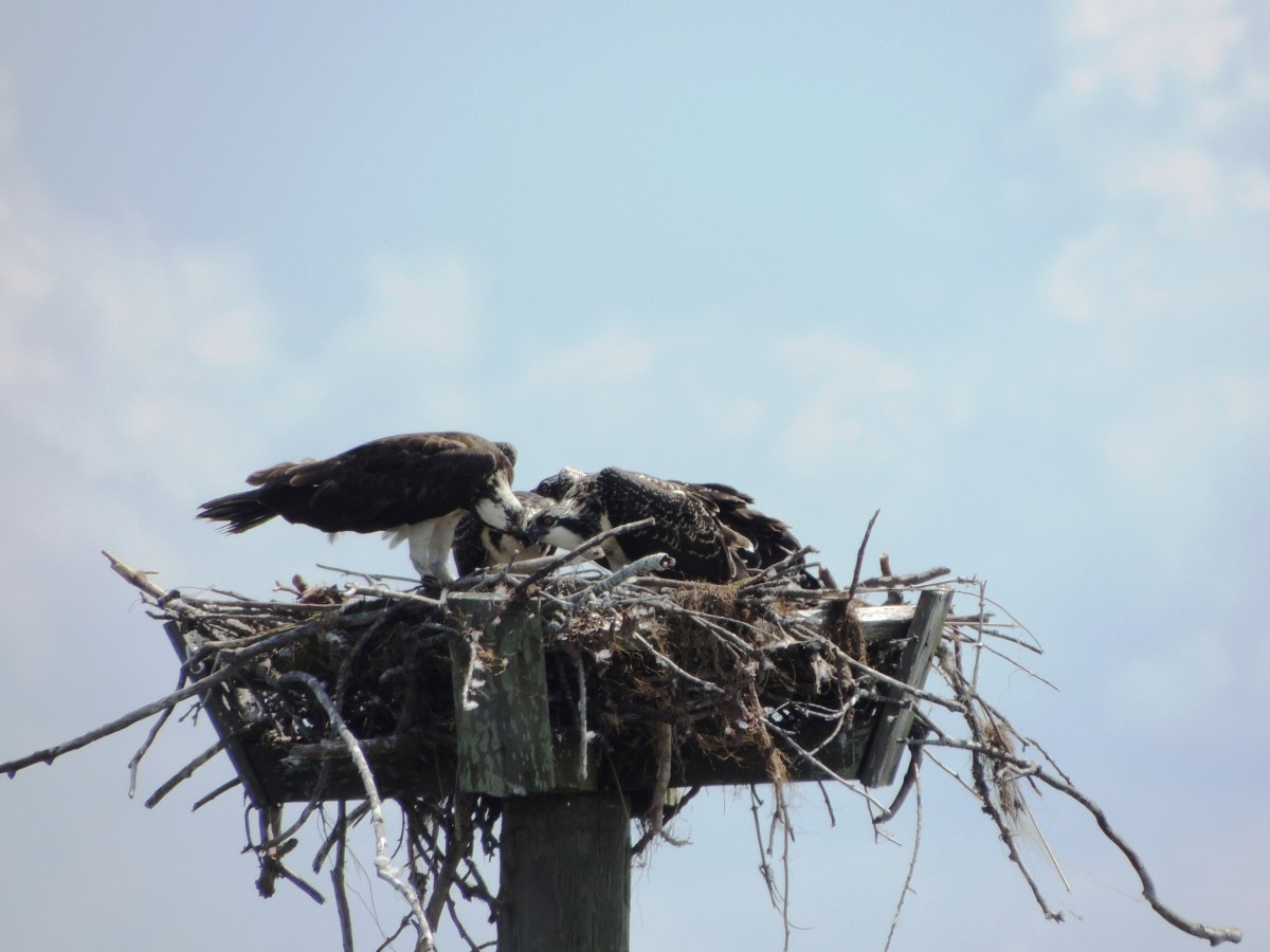 Birds nest at Duck, North Carolina Boardwalk on the Currituck Sound on the Outer Banks of North Carolina