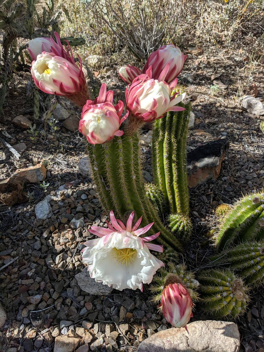 This 'Big Bertha's' flowers were wilting while new buds began to open. This is same 'Big Bertha' cactus as the one above, but this photo was taken 5 hours after first. Note the flowers now wilting and other buds starting to open.