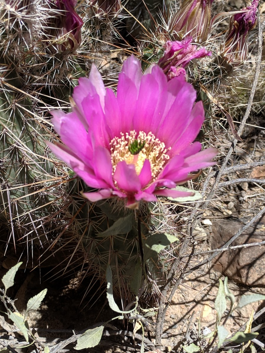 Strawberry Hedgehog Cacti (Echinocereus brandegeei) are small, but they produce large flowers for their size.