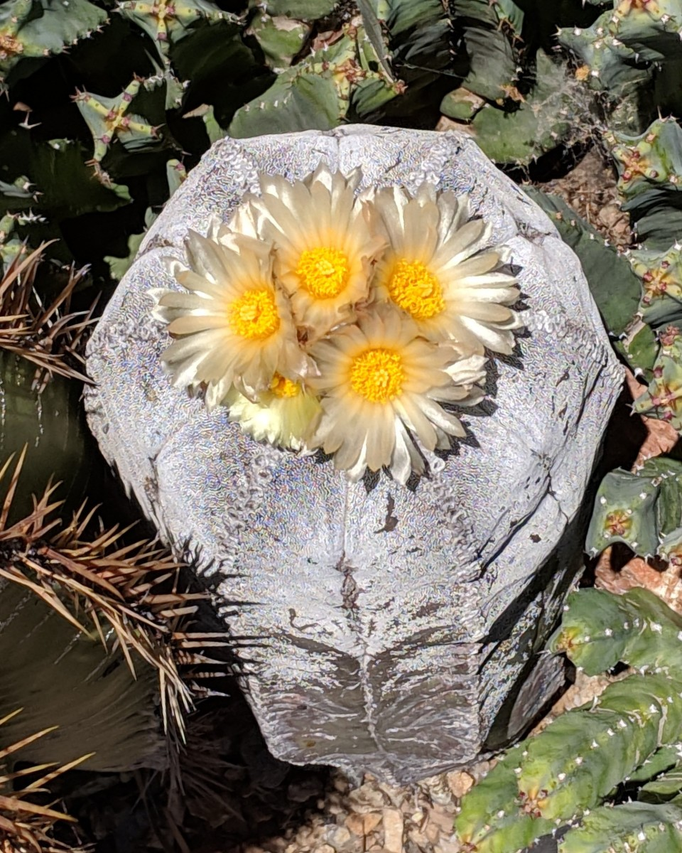 As the Bishop's Miter cactus (Birrete De Obispo) ages, tiny grey hairs multiply on the plant.  Grey  hairs cover this old cactus, giving it a metallic silver look, but age doesn't stop it from flowering.