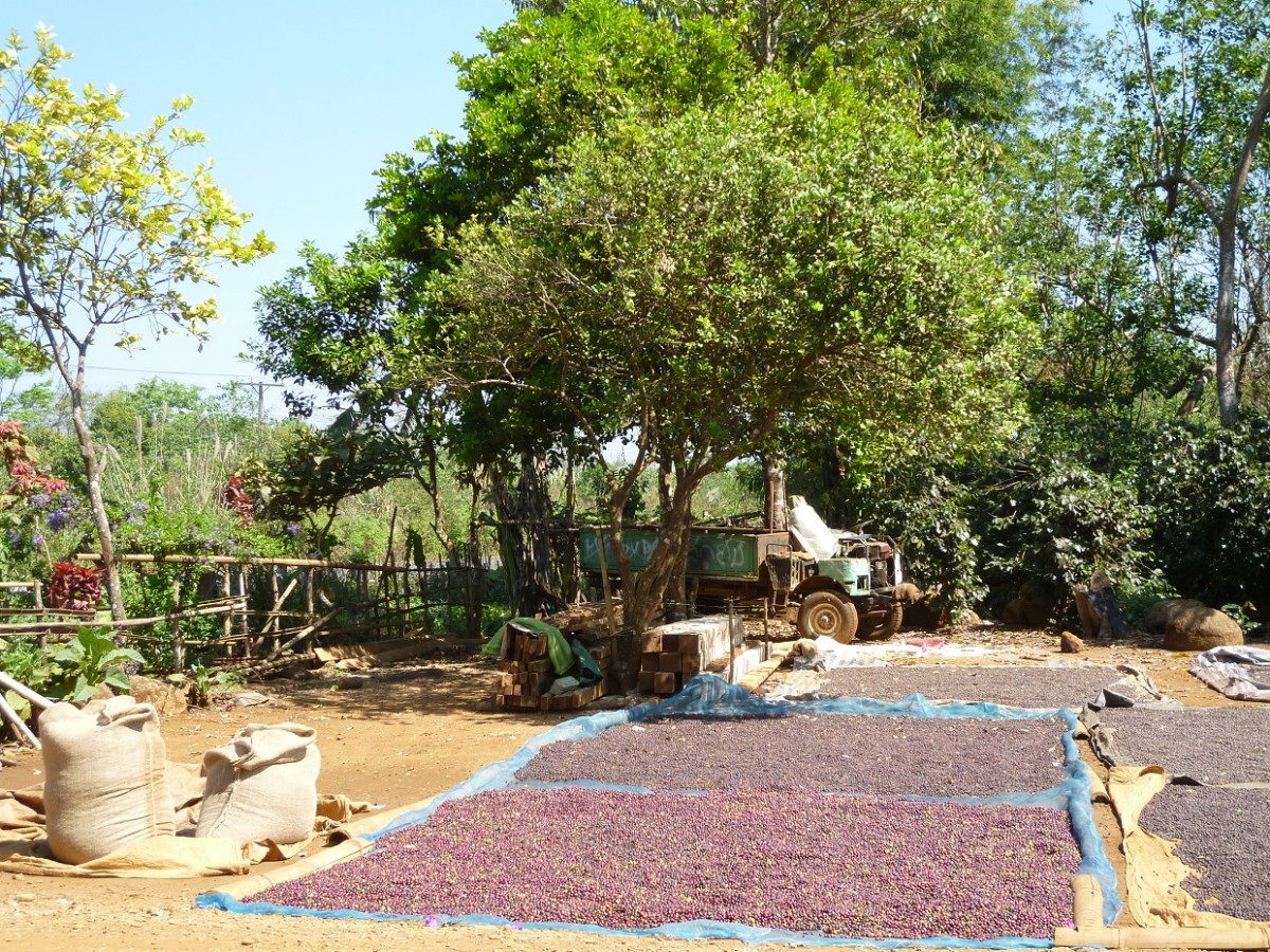 Coffee farm, drying coffee beans in the sun.(Bolaven Plateau)