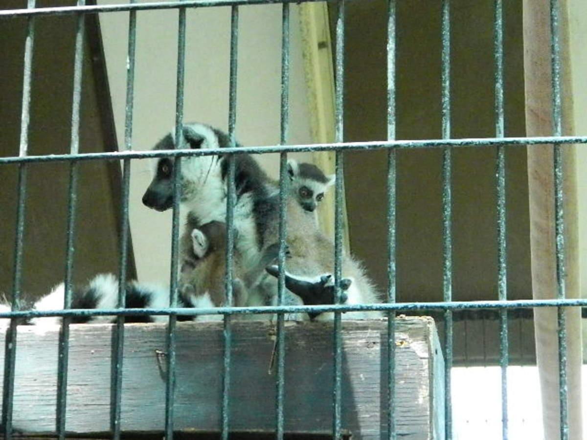 Lemur babies and mom