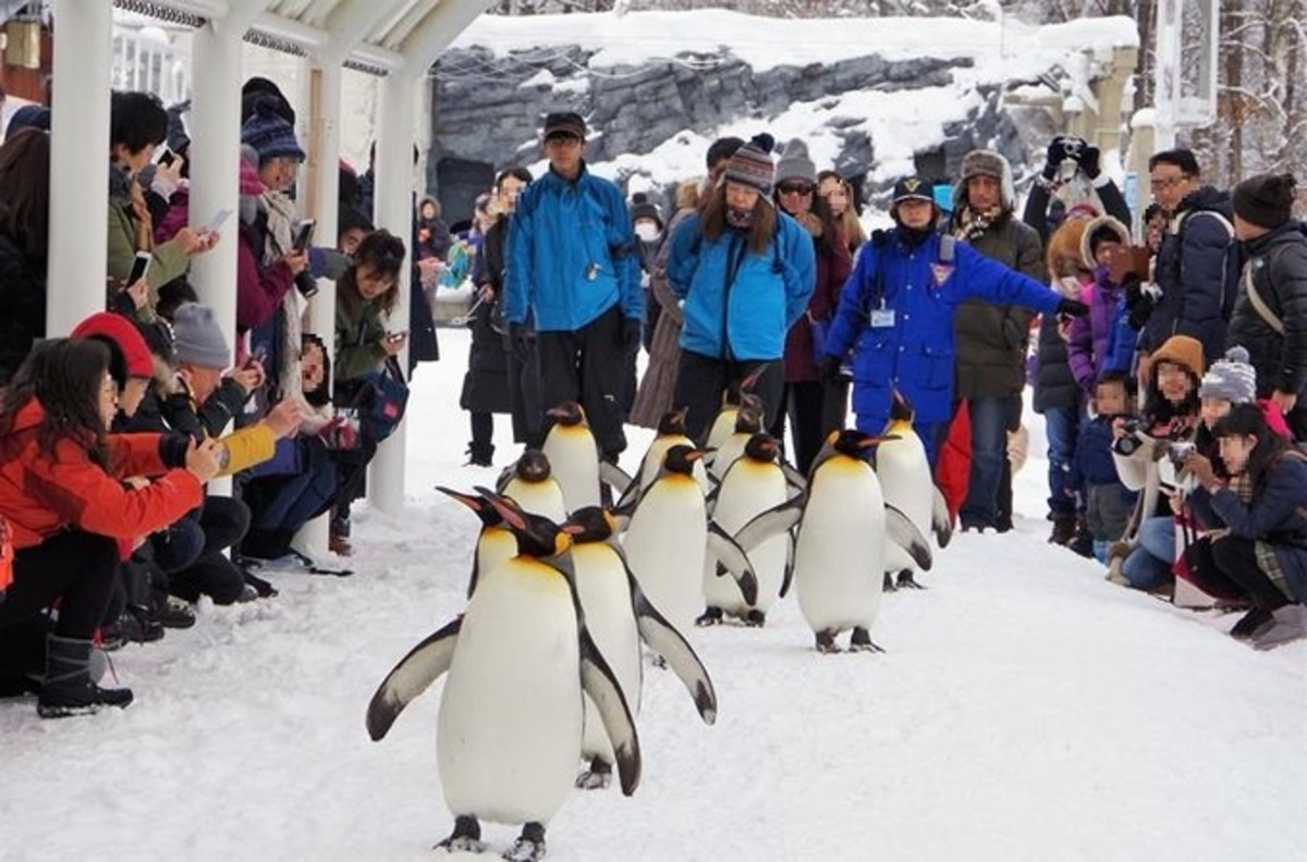 Walking With Penguins at Asahiyama Zoo