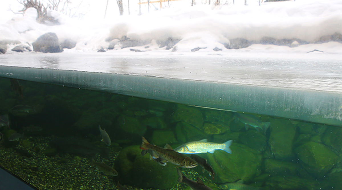 Fishes Swim Beneath the Frozen-Over Aquarium at Northern Daichi Aquarium