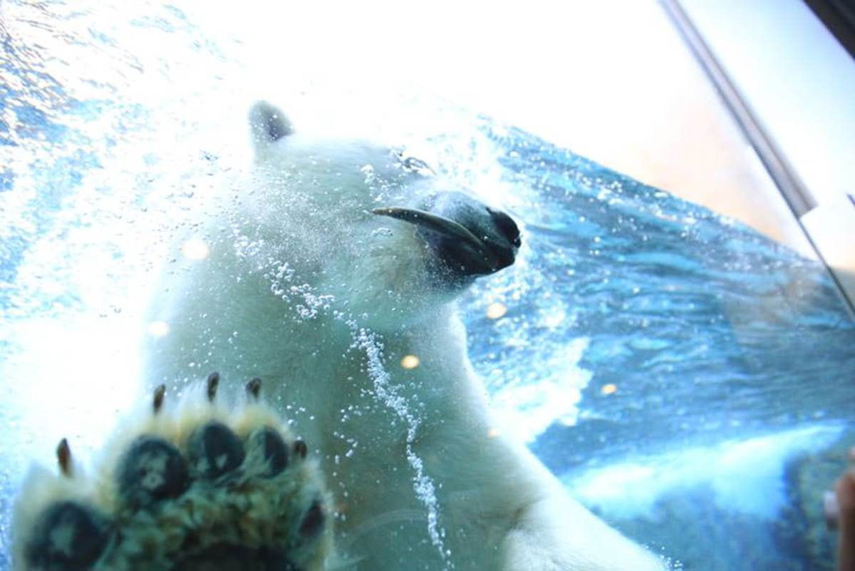 Up Close and Personal With a Polar Bear at Asahiyama Zoo
