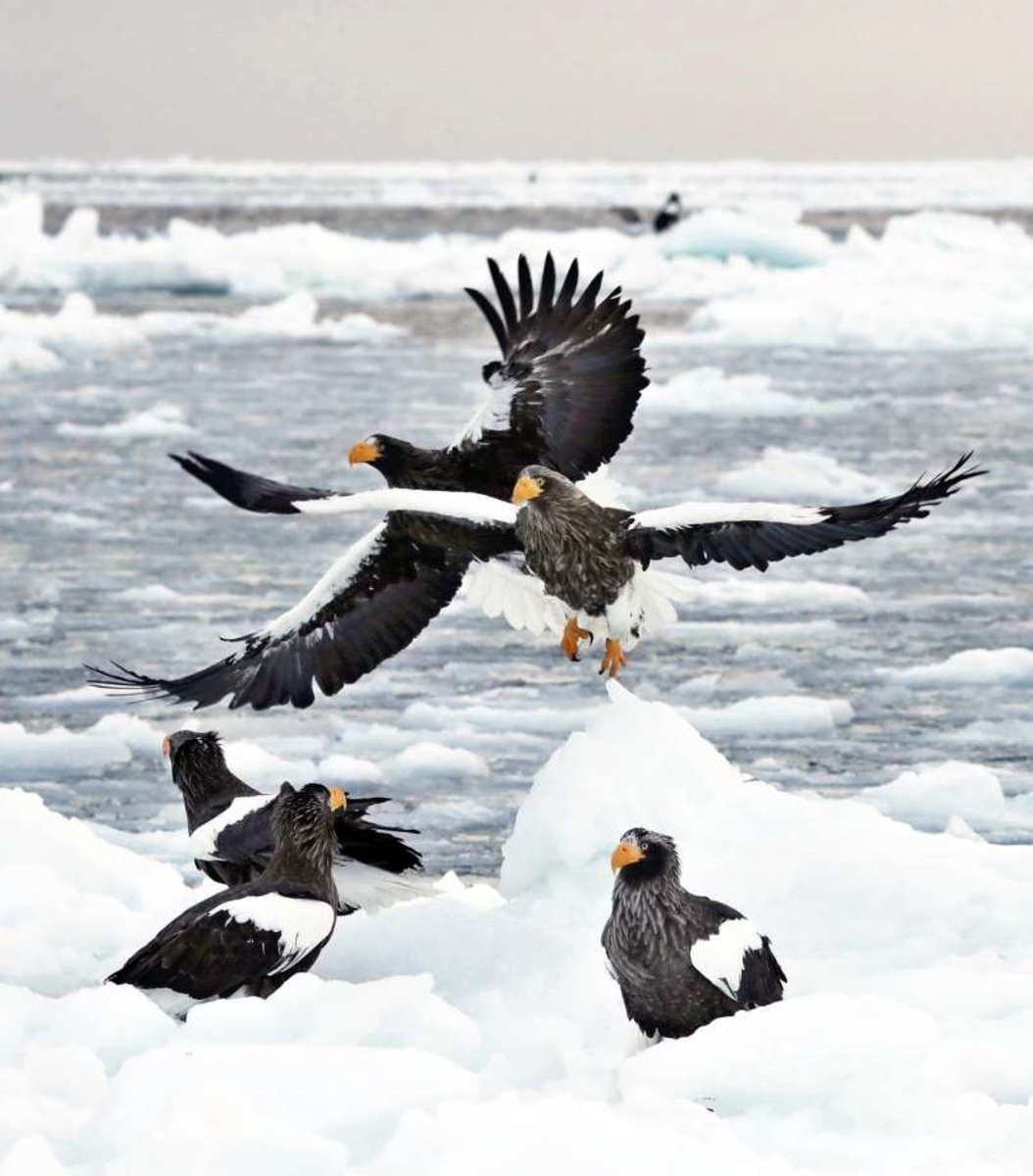 Sea Eagles on Drift Ice off the Coast of Shiretoko