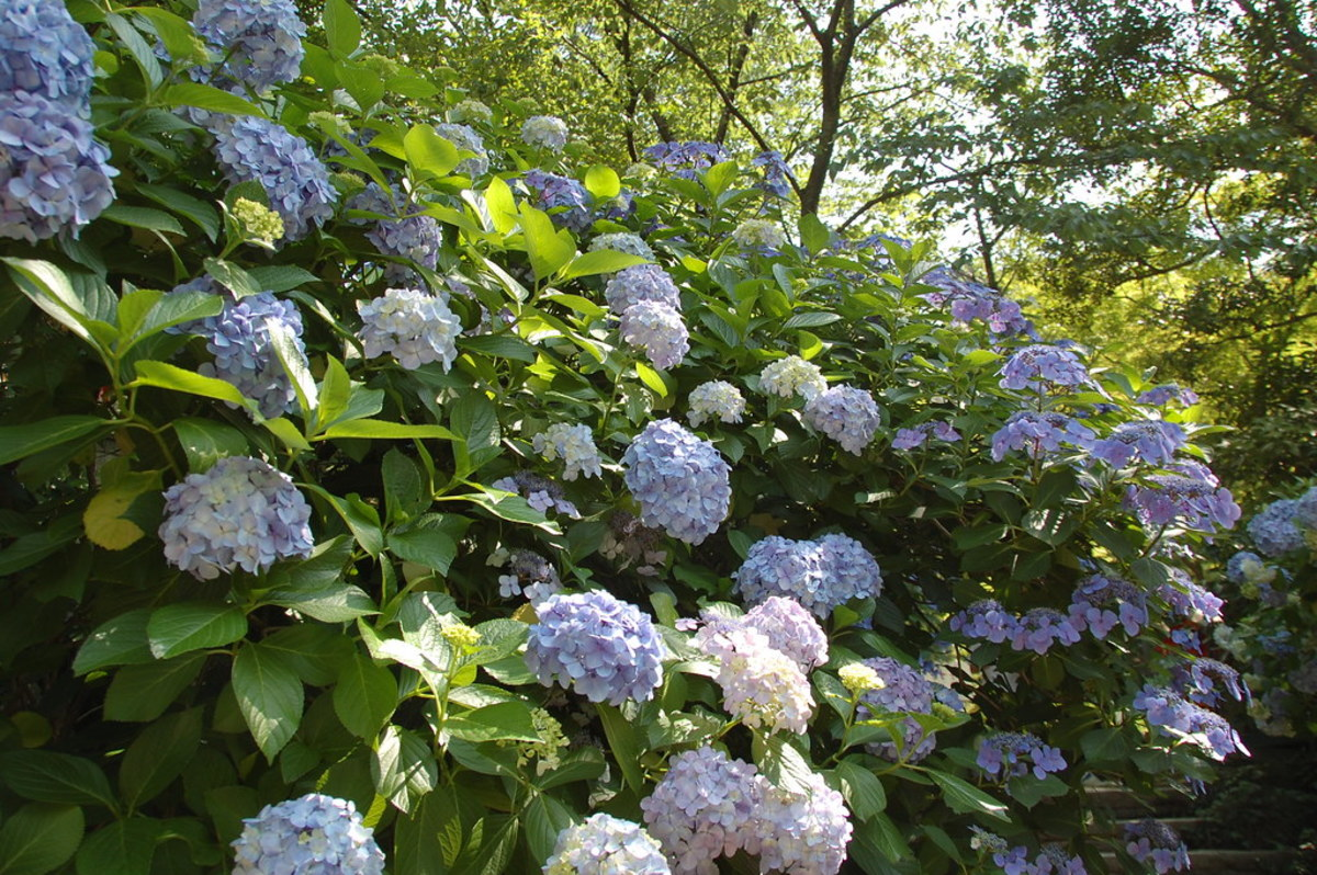 Ajisai (hydrangeas) in Japan.