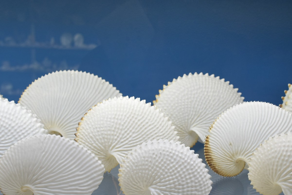 Paper Nautilus Shells - Part of a 60-year shell collection