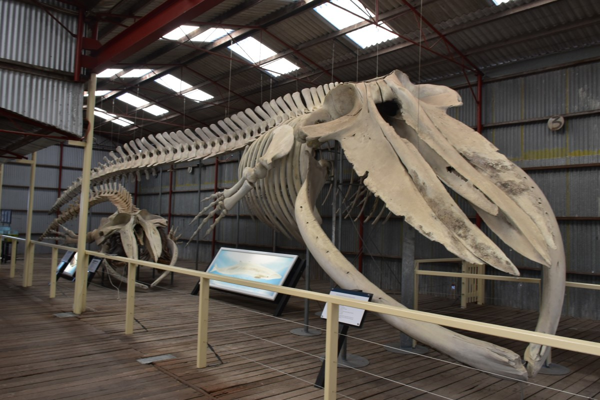 Pygmy Blue Whale Skeleton