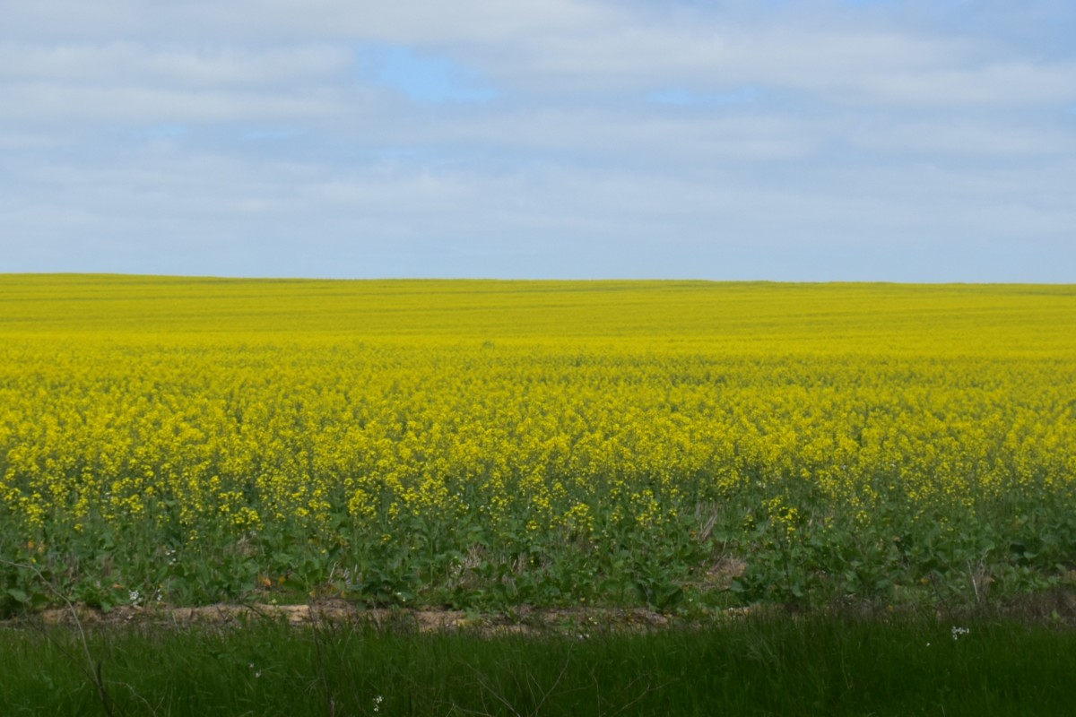 Canola in Flower