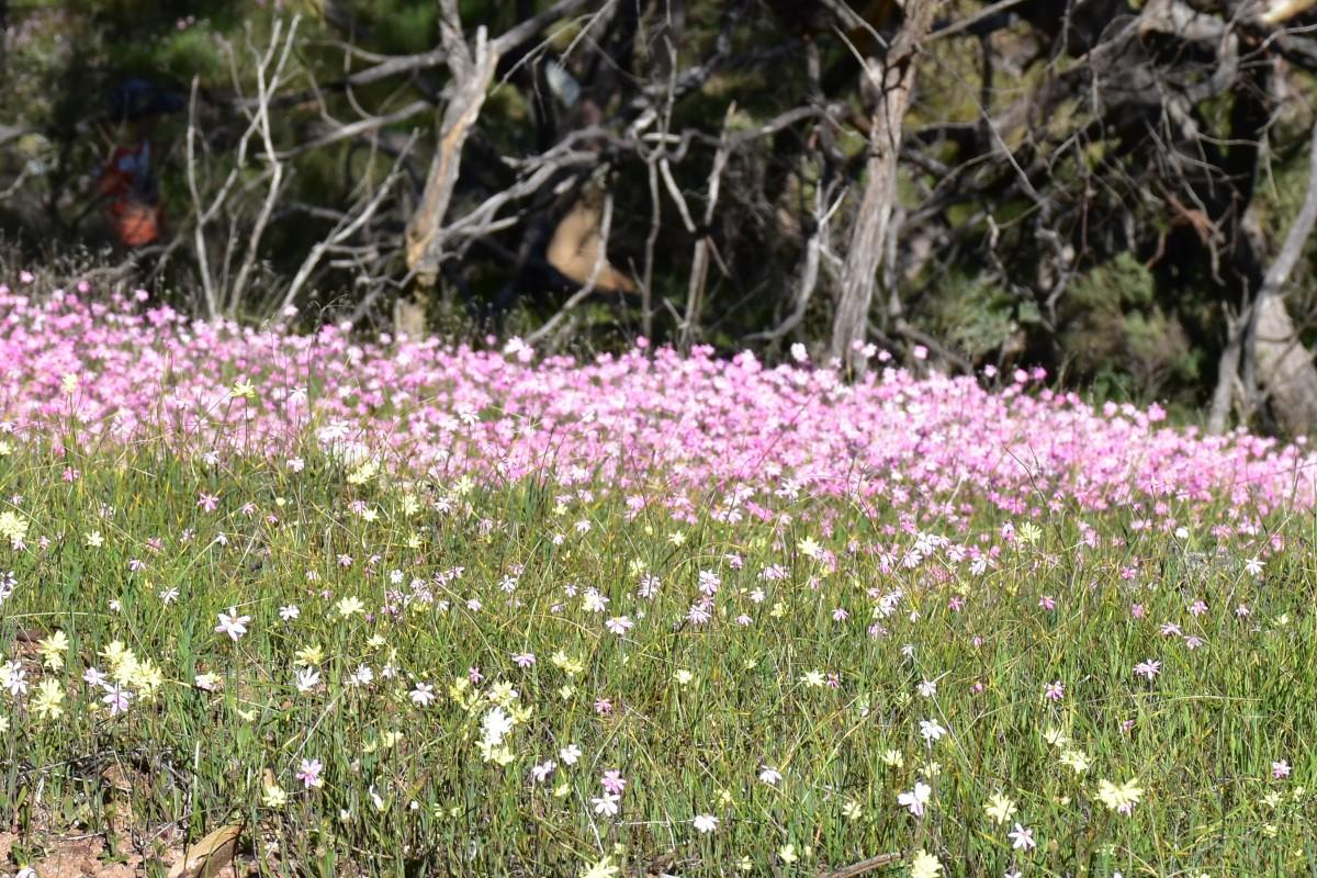 Pink Everlasting Daisies