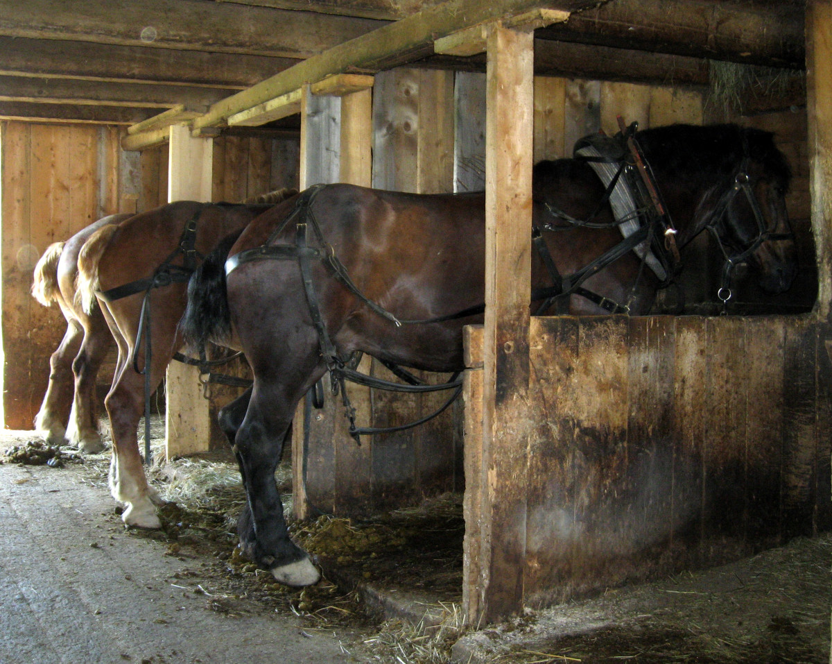 The carriage horses return to their stalls for a meal.