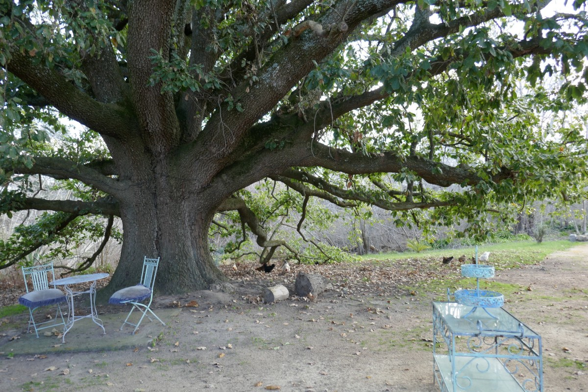 The Ancient Evergreen Oak