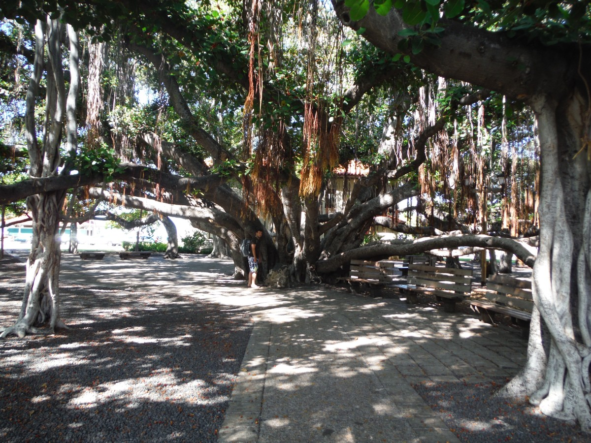 The massive banyan tree just off Front Street in Lahaina, Maui is a must visit, along with its many nearby shops.