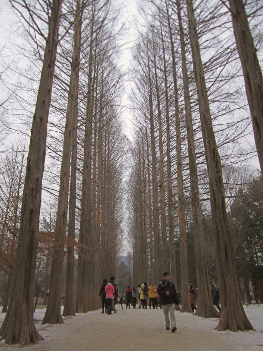 One of the Tree-Line Avenues on Nami Island