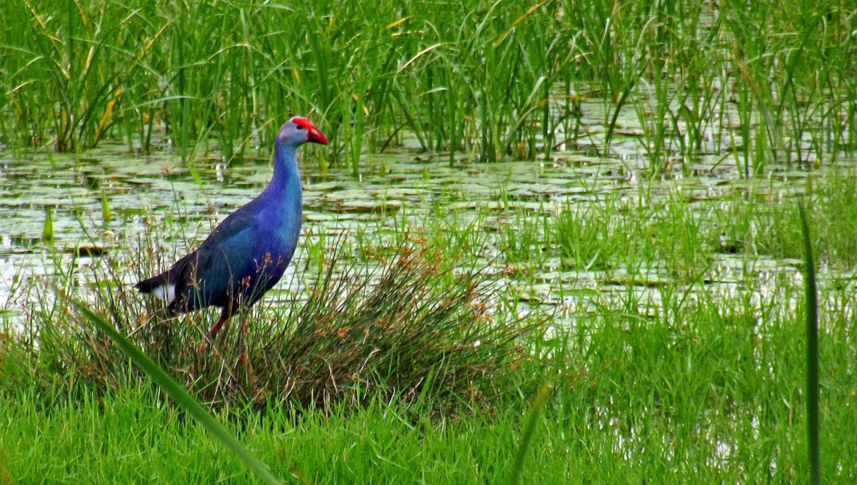 Purple Swamphen in Pallikaranai wetland