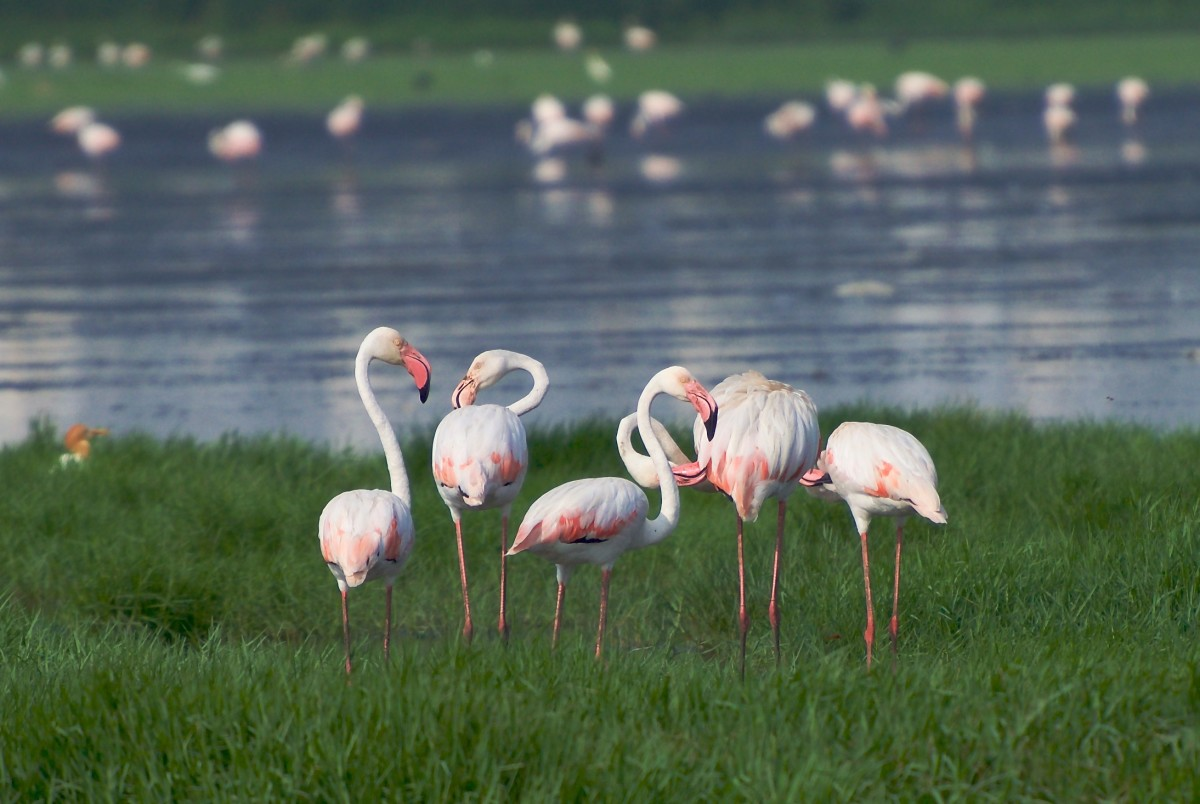Flamingoes grazing near Pallikaranai marsh