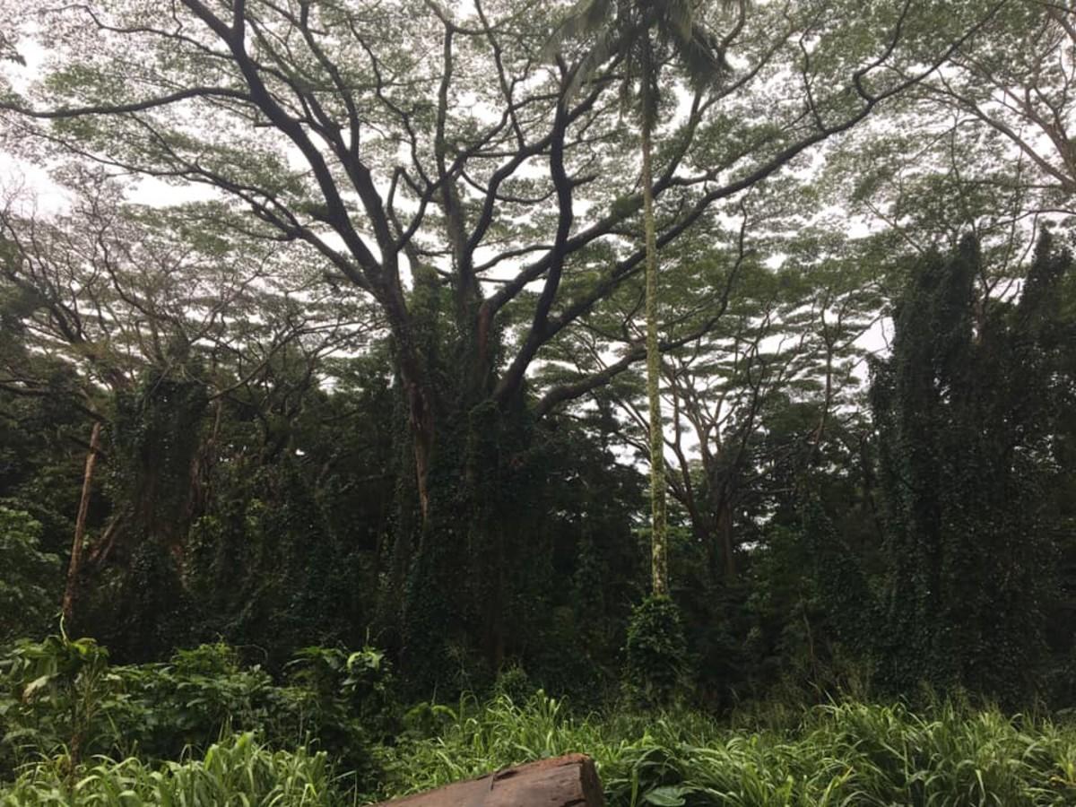 The lush jungle along the Manoa Falls trail
