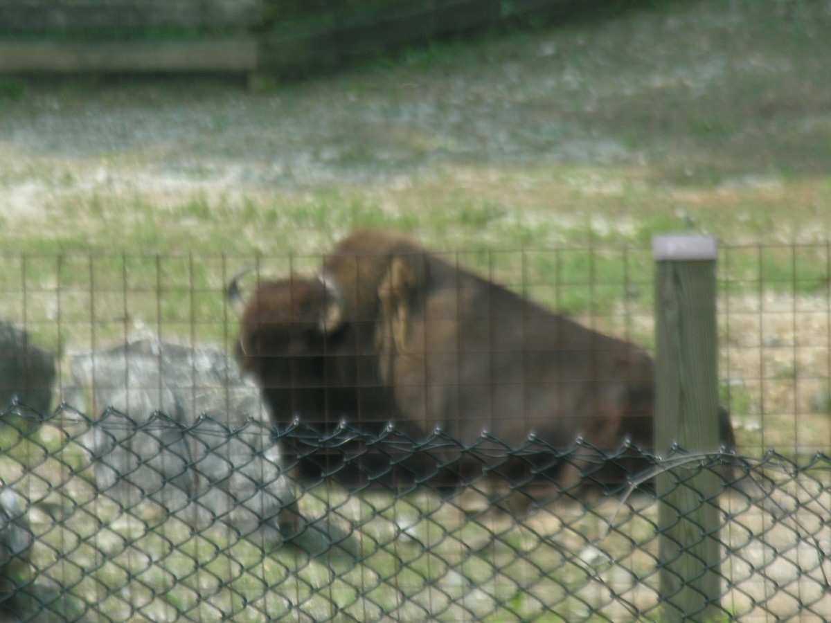 A bison at Zooamerica, August 2011