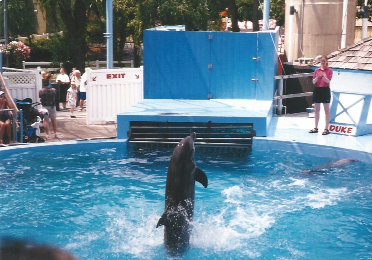 A dolphin performing at Hershey Park