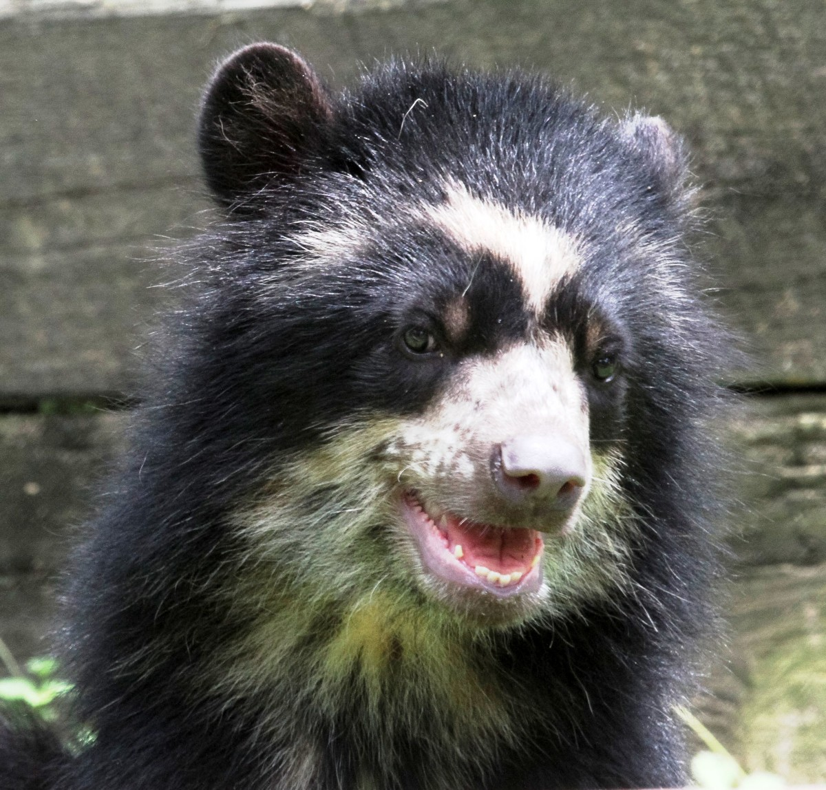 Andean Bear at the National Zoo in Washington DC