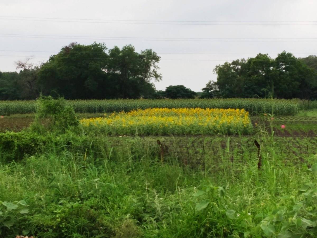 Sunflower field on the outskirts of Kovilpatti