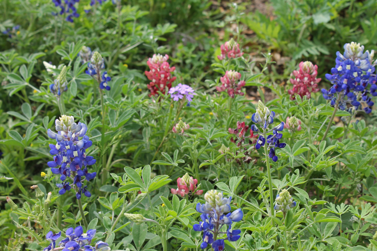 Variants of bluebonnets at Wildseed Farms
