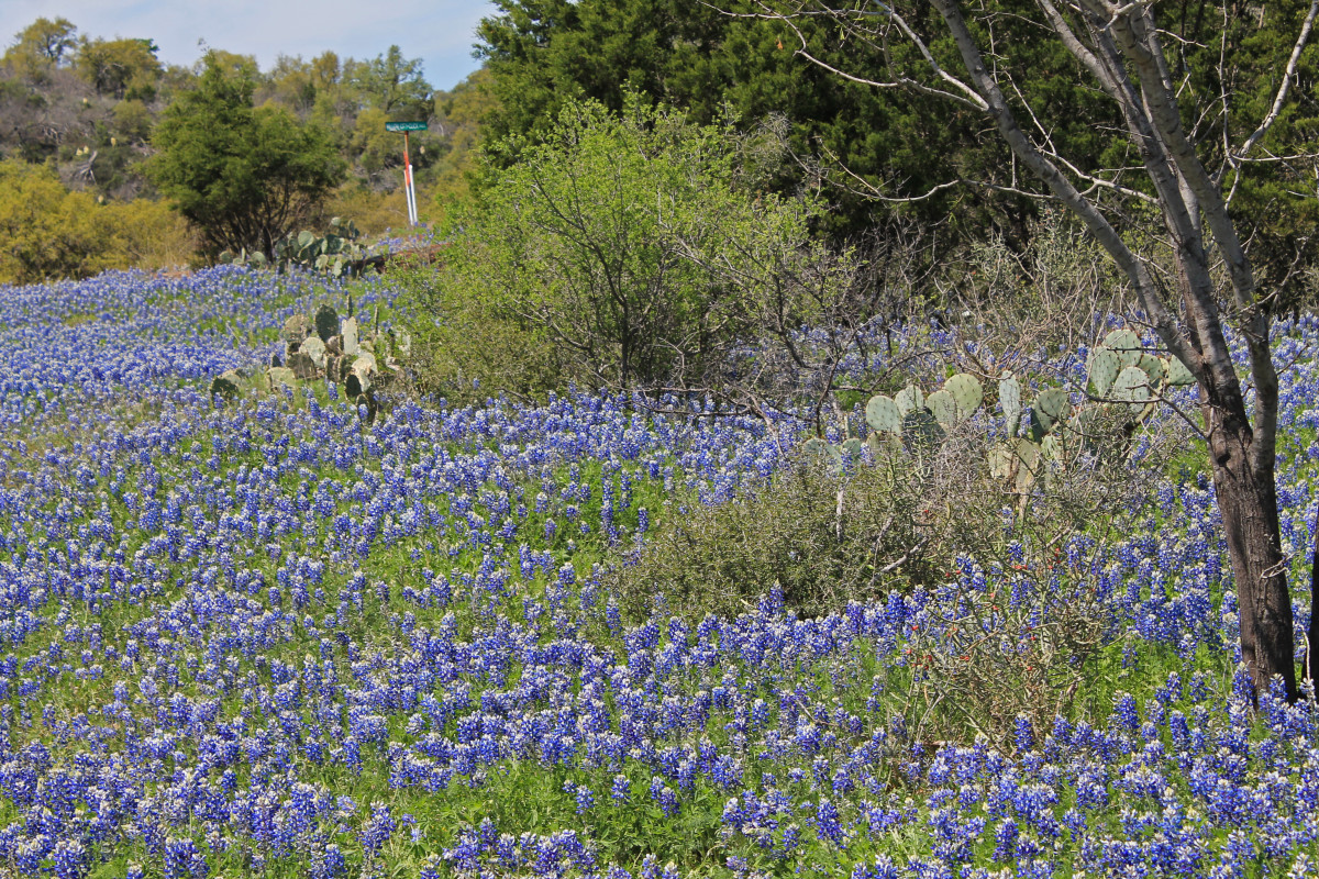 Cactus and field of bluebonnets at Willow City Loop