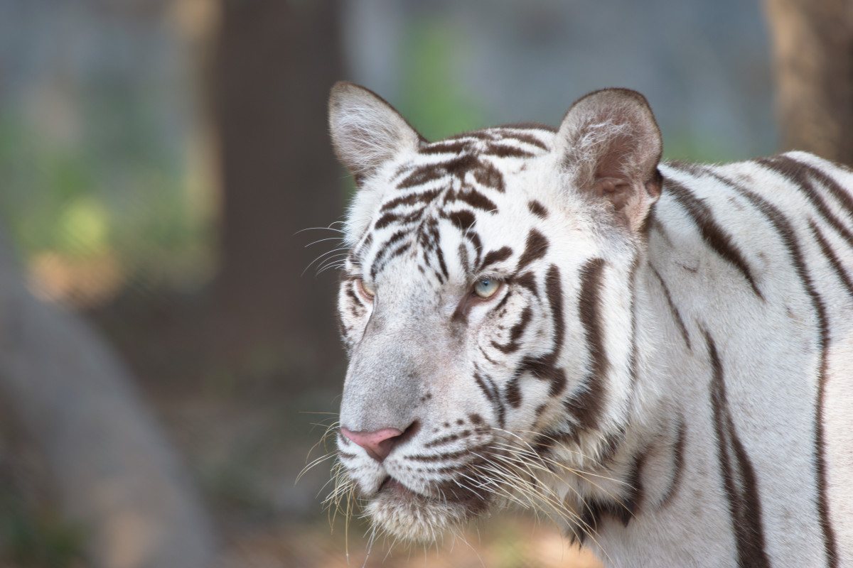 White Tiger in Vandalur Zoo