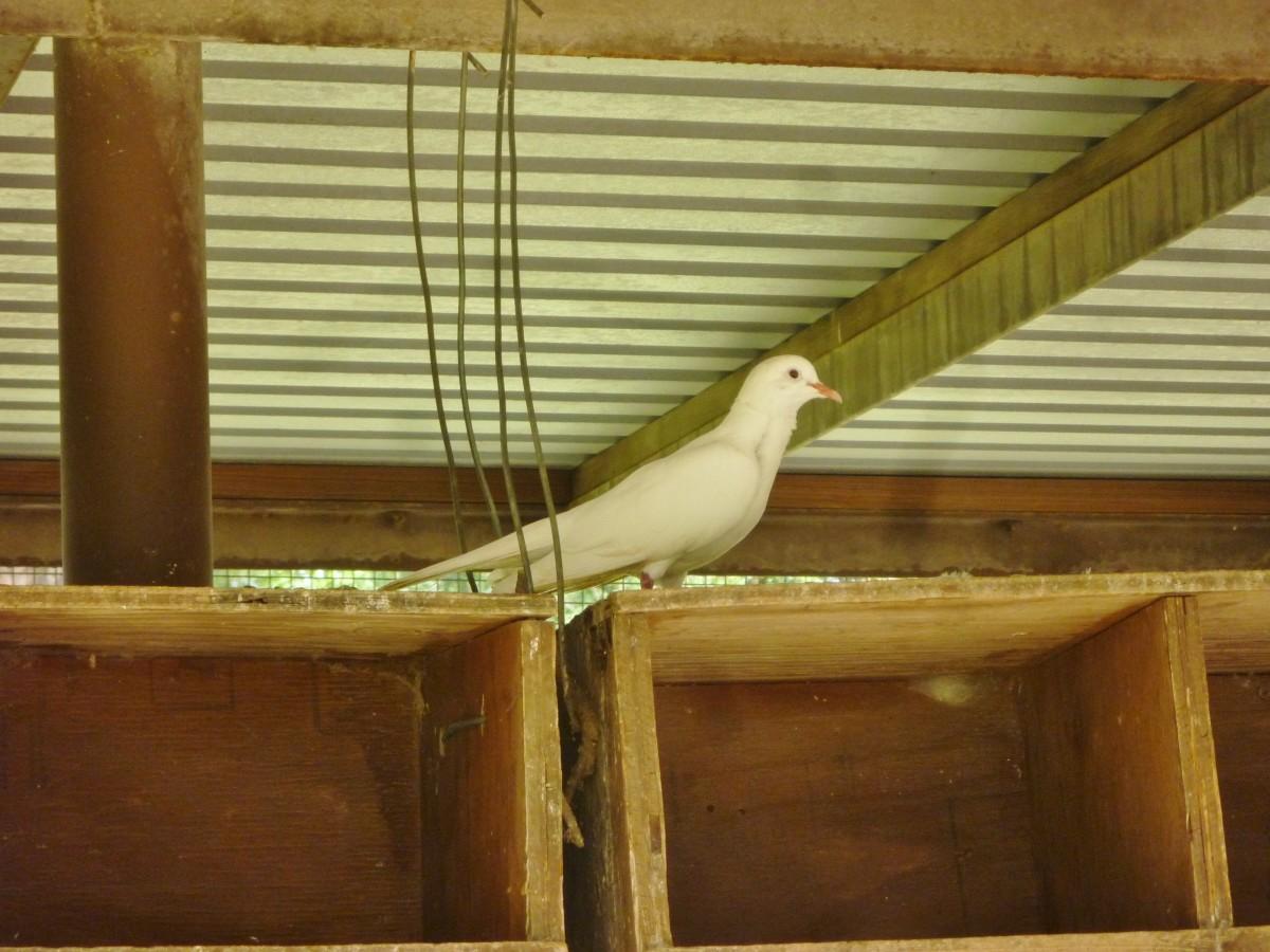 Caged doves in Meyer Park