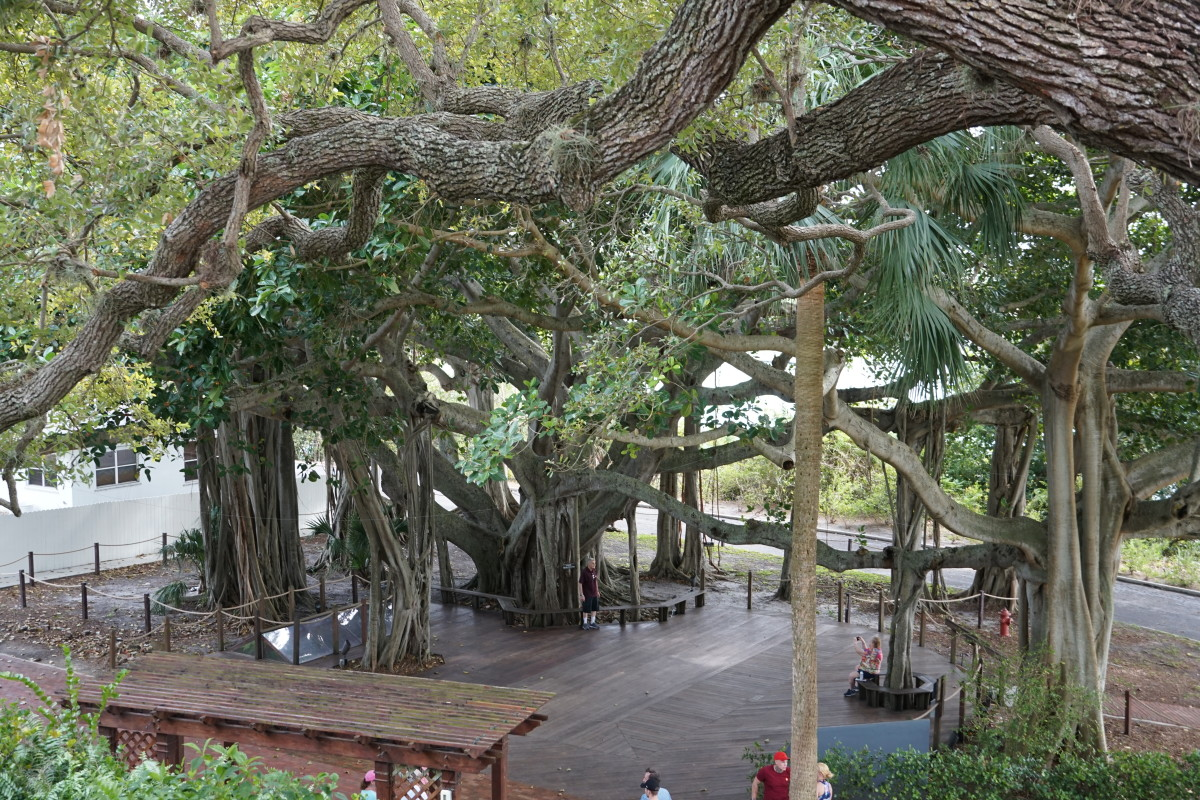 Ficus tree and deck